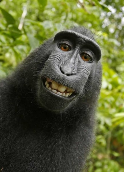 People for the Ethical Treatment of Animals filed a lawsuit in San Francisco alleging this selfie snapped by a monkey in Indonesia in 2011 is the property of the primate rather than the photographer who owned the camera. Photo courtesy PETA