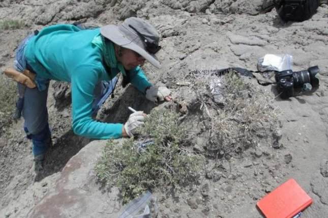 Paleontologist Karen Chin is pictured excavating dinosaur coprolites from the Utah desert. Photo by University of Colorado