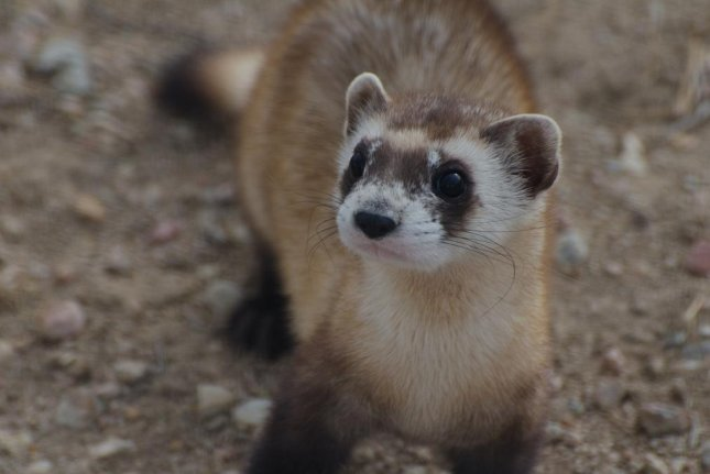 There are only 300 black-footed ferrets currently living in the wild. Photo by USFWS Mountain Prairie/Flickr