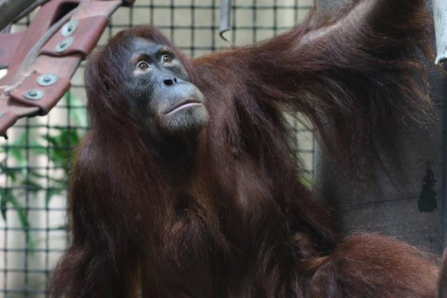 Tao, an 11-year-old Sumatran orangutan, briefly escaped from her enclosure Tuesday morning at the Sedgwick County Zoo in Wichita. Photo by the Sedgwick County Zoo/Facebook