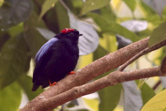Costa Rica's long-tailed manakin prefers wet sections of the forest. It's one of several species losing out as more and more of the forest is converted to agricultural fields. Photo by Daniel Karp/UC Davis