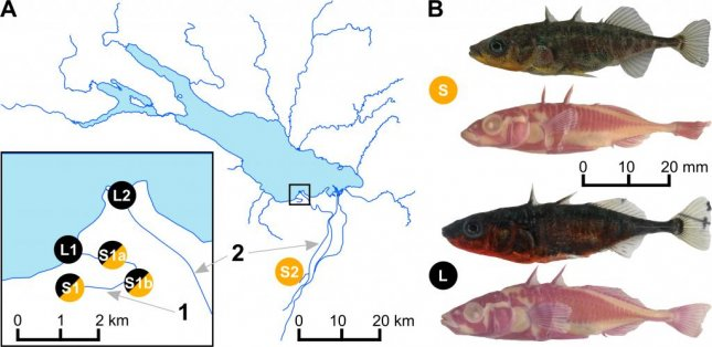Though they live and breed in the same area -- and even interbreed -- researchers witnessed a species of stickleback fish diverging into two separate species in Switzerland's Lake Constance. Photo by Marques, et al./PLOS ONE