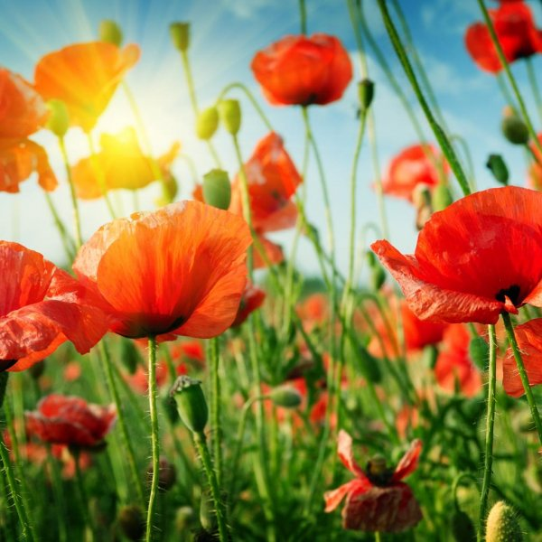 Opium production is up 43 percent in Afghanistan compared to 2015, according to a newly released report. Eradication of the poppy fields is down 91 percent. Opium production is illegal in Afghanistan, but the government there is often accused of turning the other way. Photo by Serg64/Shutterstock
