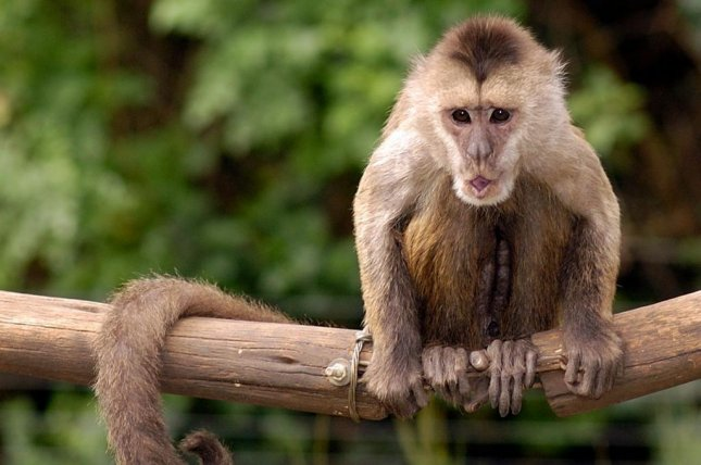 An Israeli zoo is searching for Conner the monkey after he apparently escaped his enclosure at the park. Photo by Zoological Center Tel Aviv - Ramat Gan Safari/Facebook