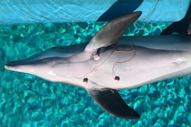 In order to discover that Dolphins can slow their heart rates down, researchers attached ECG suction cups to monitor the hearts of the three trained dolphins. Photo by Mirage, Siegfried and Roy's Secret Garden and Dolphin Habitat