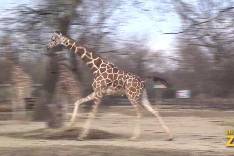 Enthusiastic giraffe frolics in unseasonably warm Chicago weather