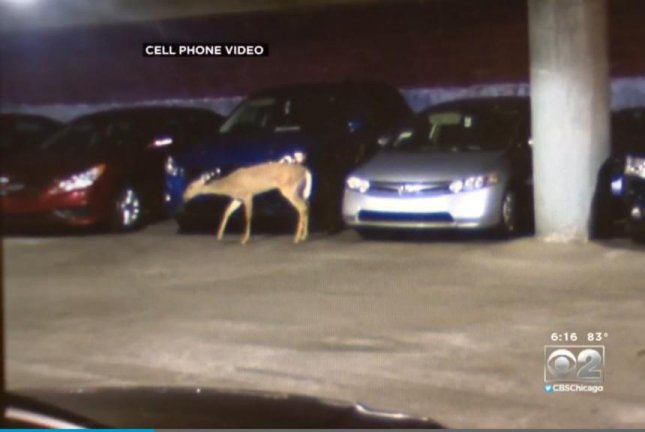 A deer caught Monday morning in a downtown Chicago parking garage. Screenshot: CBS Chicago