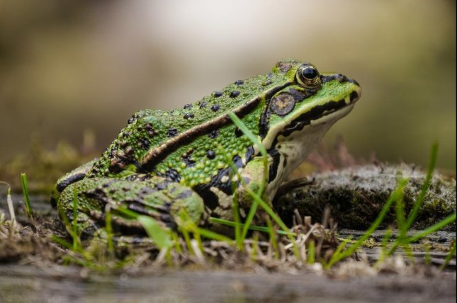 The relationship between amphibians and pigs could play an underappreciated role in the spread of zoonotic diseases. Photo by Kansas State University