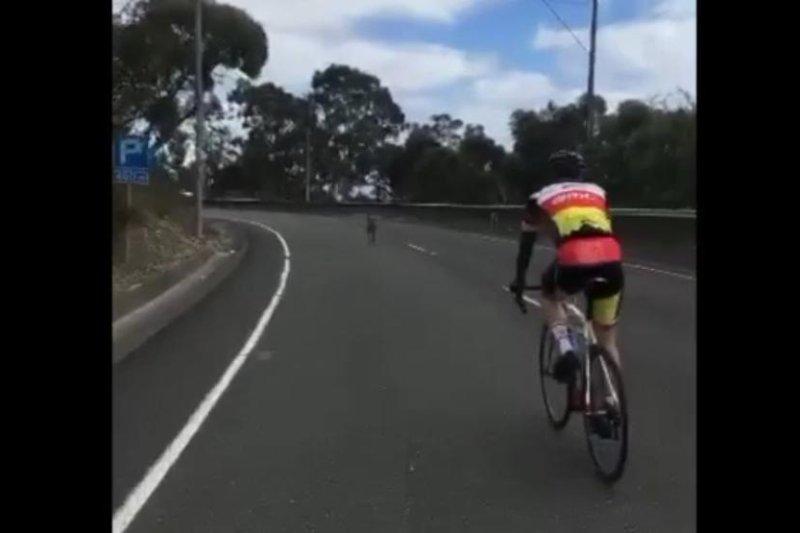 A kangaroo hops ahead of a group of cyclists riding a South Australia road. Screenshot: Storyful