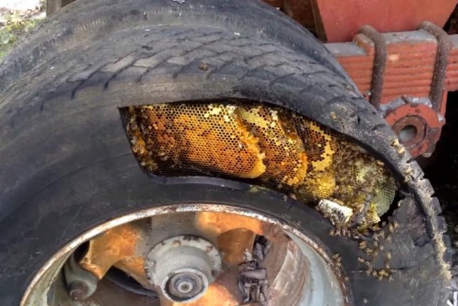 A bee removal expert found thousands of bees using an old trailer tire as a hive. Screenshot: Storyful