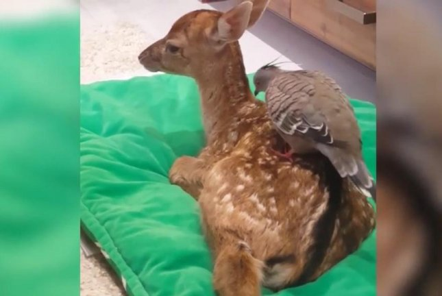 Orphaned fawn Faline has become close friends with a crested pigeon that likes to perch on her back. Screenshot: Storyful