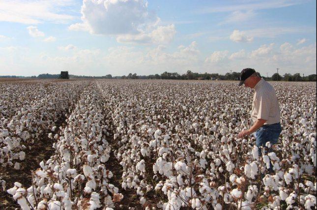 A new cotton plant that was genetically engineered to produce an edible seed has been approved by the Food and Drug Administration. Photo courtesy of Cotton Incorporated