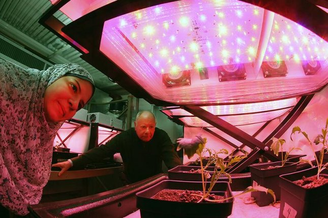 Cary Mitchell and graduate student Asmaa Morsi monitor the growth of mizuna plants (much like arugula) in a growth chamber on the Purdue University campus. Photo by Tom Campbell/Purdue University
