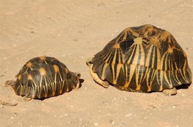 The Wildlife Conservation Society reports that seven members of an international smuggling ring were sentenced to prison after attempting to bring 316 critically endangered radiated tortoises from Madagascar into China. Photo courtesy Wildlife Conservation Society