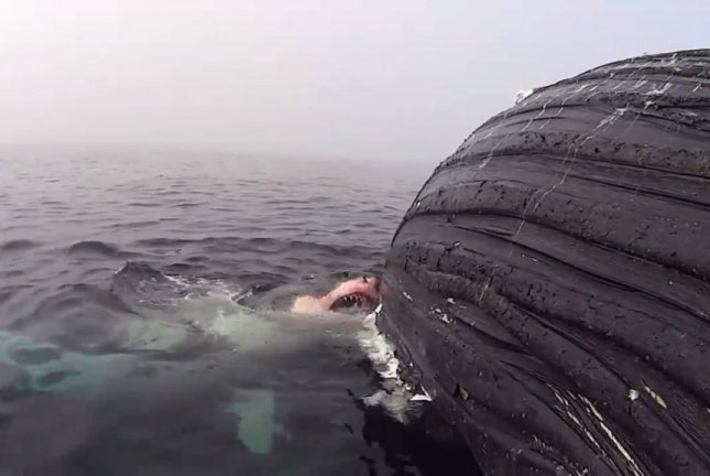 Dead humpback whale towed as great white tags along