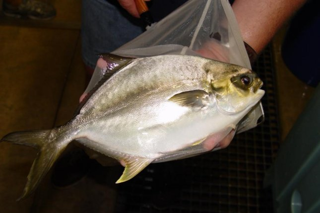 A young pompano broodfish, or starter fish, is shown at a Florida aquaculture facility. Photo courtesy of Florida Atlantic University