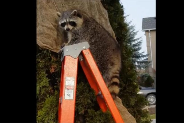 A rotund raccoon commandeers a ladder from a man decorating trees in his yard. Newsflare video screenshot