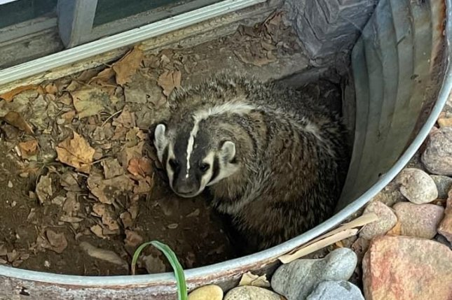 Wildlife officials rescue badger trapped in Colorado window well