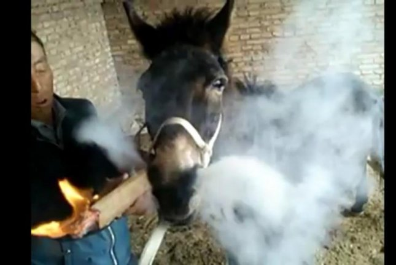 A donkey smokes a cigarette made from firewood. Screenshot: Newsflare