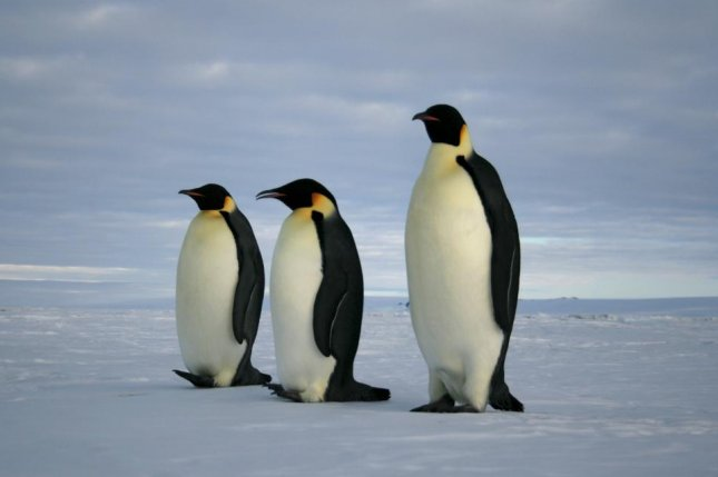 Sea ice losses have all but disappeared one of the largest emperor penguin colonies in the world. Photo by Flickr