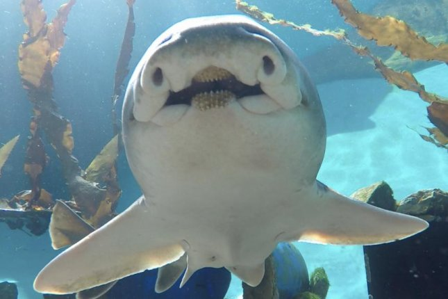 A Port Jackson shark shows off its unique personality. Photo by Evan Byrne/Macquarie University