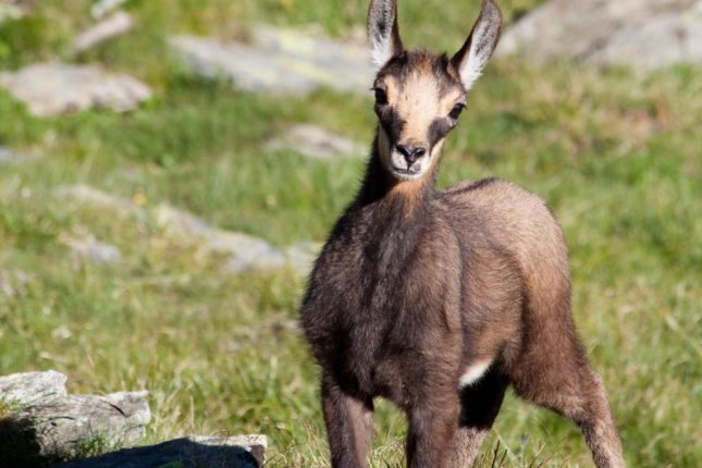 A juvenile Chamois, a species of alpine goat that populates the mountains of southern Europe. (Durham University/Tom Mason)