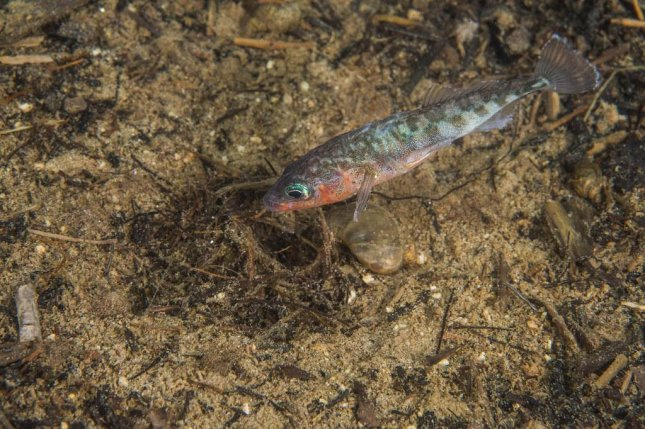 A male stickleback fish guards his nest. Photo by Jason Ching/University of Washington