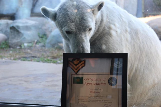 Juno, a polar bear at the Toronto Zoo, was promoted to the rank of honorary master corporal by the Canadian Army in honor of the animal's birthday, which falls on the country's Remembrance Day. Photo courtesy of the Toronto Zoo