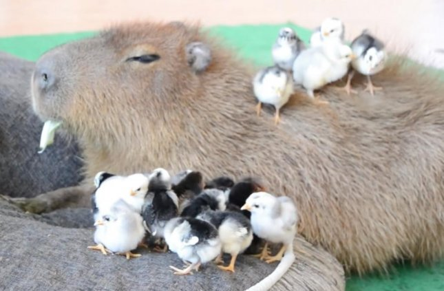 JoeJoe the Capybara maintained a calm, stone-faced demeanor when presented the task of watching over a group of rowdy baby chicks. The uninterested capybara calmly chewed on a piece of lettuce as the tiny chicks crawled on and around him.  Screen capture/JoeJoe the Capybara/YouTube