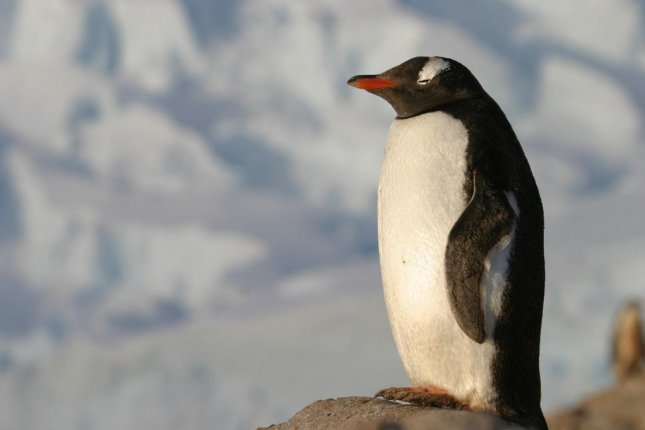 Researchers in New Zealand and Germany have determined that fossils found in North Canterbury, New Zealand, come from a species of human-sized penguin that lived during the Paleocene Epoch. Photo by Hans_Huijskes/Pixabay