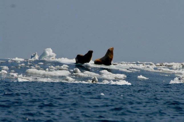 New research suggests melting sea ice helped a deadly virus spread from marine mammals in the Atlantic to population in the Pacific. Photo by NOAA Fisheries/Polar Ecosystems Program