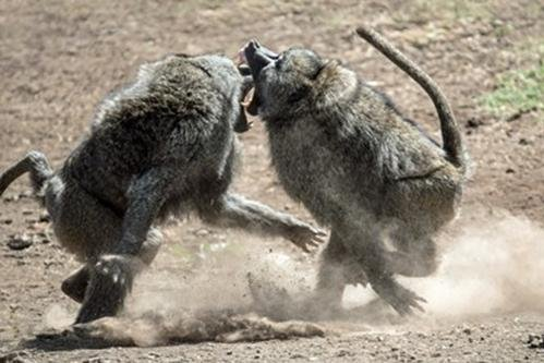 Rival baboons fight over mates and territory, behavior that researchers say is important for evolution and survival most animal species. Photo by University of Bristol