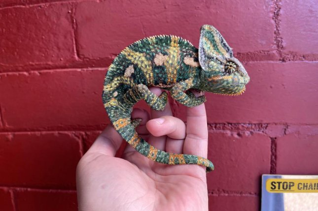 A man taking his trash out at his home in the Fulwood area of Preston, England, found a chameleon perched on his door and turned the lizard over to the RSPCA. Photo courtesy of the RSPCA