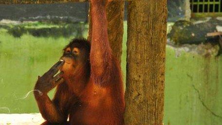 Tori the smoking orangutan. (Image credit: Center for Orangutan Protection/Guardian)