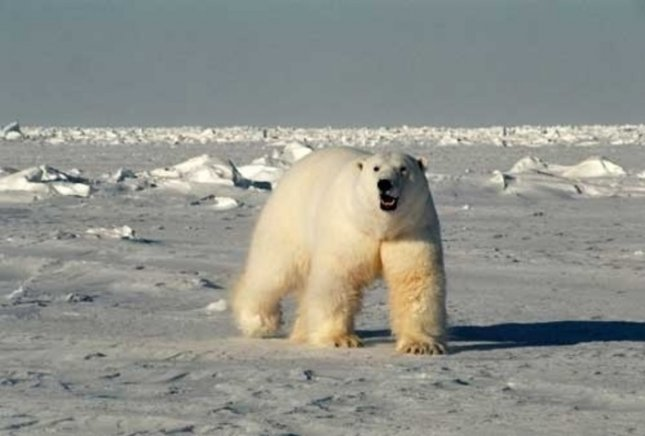 genetics helps arctic polar bears survive winter without. Black Bedroom Furniture Sets. Home Design Ideas
