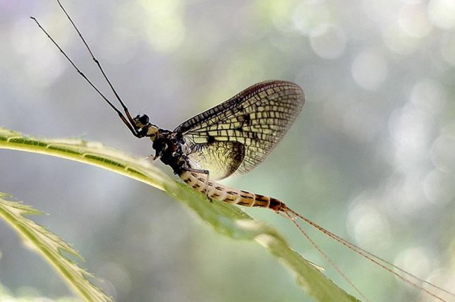 The Danish mayfly has been named Insect of the Year for 2021. Photo byWolfgang Kleinsteuber courtesy of German Entomological Institute