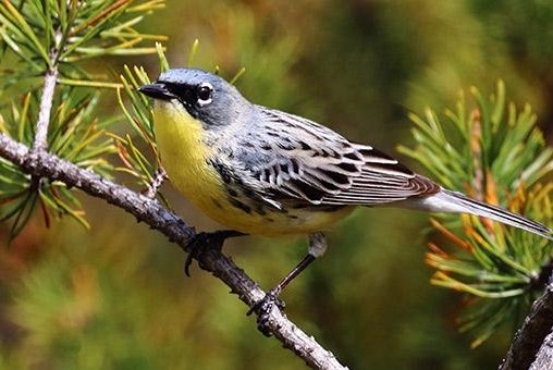 The population of the Kirtland's warbler increased from 167 pairs in 1974 to more than 2,000 pairs in the most recent census. Photo by Vince Cavalieri/U.S. Fish & Wildlife Service