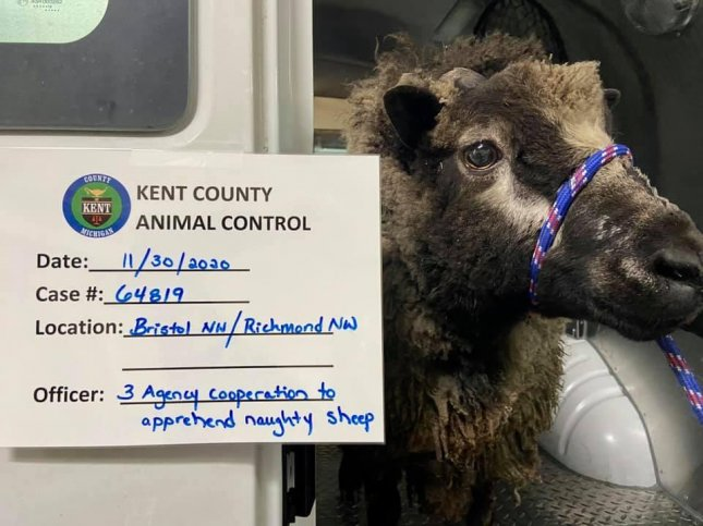 The Walker Police Department in Michigan said a wandering sheep was apprehended hours after the animal allegedly cracked the glass doors at a local business. Photo courtesy of the Walker Police Department