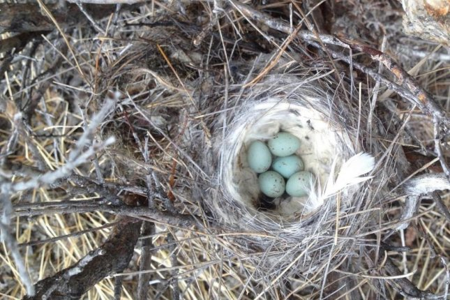 The laying of bird eggs is one of the many ecological clues scientists use to measure the arrival of spring. Photo by Eric Post/UC Davis