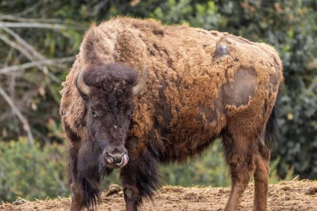 The Oakland Zoo is breeding heritage bison to populate herds on tribal lands in Montana. Photo by Steven Gotz/Oakland Zoo/Facebook