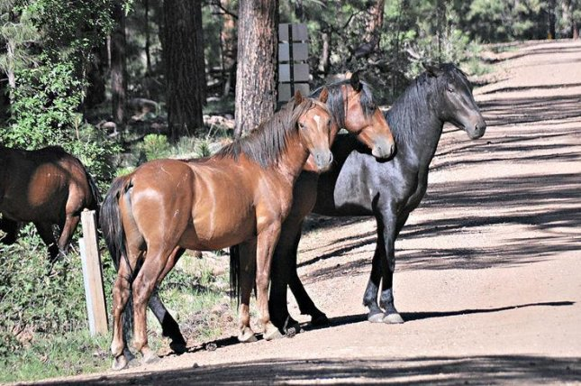 More than 35 horses have died, mostly from gunshot wounds, near the Heber Wild Horse Territory in Arizona over the past 16 months. Photo courtesy of U.S. Department of Agriculture