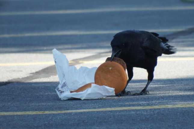 Crows living in urban environs often eat discarded human food, like cheeseburgers. As a result, they boast higher blood cholesterol levels than their rural cousins. Photo by Andrea Townsend
