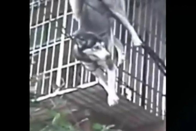 A husky that fell from a building in China became tangled in the cables that broke its fall. Screenshot: Newsflare