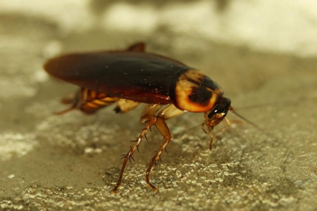 The cockroach's approach to walking and sprinting could inspire more energy-efficient walking robots. Photo by Pixabay/CC
