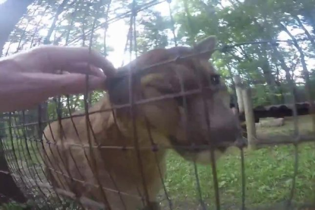 Josh Newell hopped a barrier and reached through a fence to pet two cougars at the Columbus Zoo. He is facing a charge of criminal trespassing. Jmilestones Newell/YouTube video screenshot