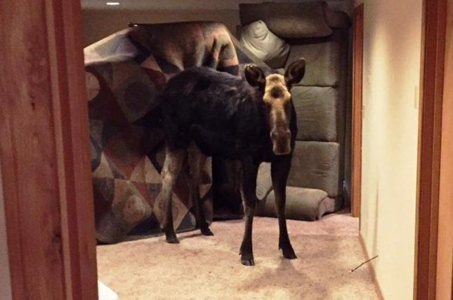 An Idaho conservation officer responded to a Blaine County home where a moose crashed through a window well and ended up trapped in the basement. Photo courtesy of the Idaho Department of Fish and Game