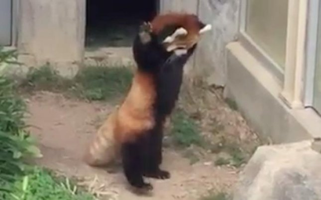 A red panda at a zoo in Japan stood on its hind legs in an attempt to intimidate a small creature possibly hiding on a rock in its enclosure. 