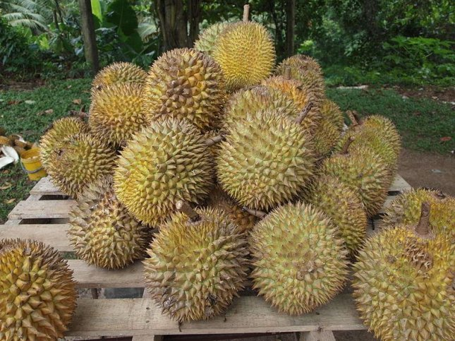 A rotten durian caused about 500 students to evacuate a university library in Australia after the fruit's foul smell was mistaken for a gas leak. Photo by Kalai/Wikimedia Commons