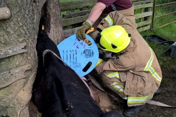Firefighters work to free a cow's head from a hole in a tree. Photo by North Yorkshire Fire/Twitter