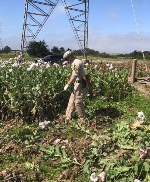 A Monterey County sheriff's deputy inspects illegal poppy plants. Photo courtesy of Monterey County Sheriff's Office
